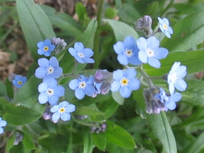 """Forget-Me-Not plants symbolize true love. The forget-me-not flowers are a medium, """"true blue"""". And as the name suggests, they are given or used to decorate gifts with the hope the recipient will not forget the giver. It also symbolizes faithful love and memories."""