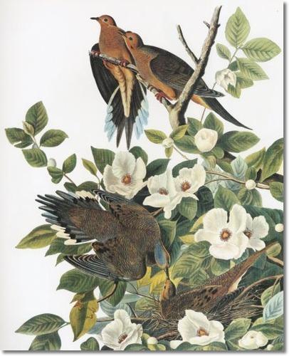 audubon-vii-showy-birds-nocturnal-hunters-and-superb-aerialists-mourning-dove-aka-carolina-turtle-dove-or-carolina-pigeon
