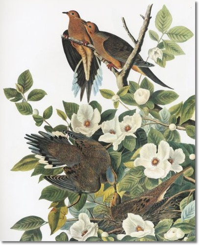 audubon-vii-showy-birds-nocturnal-hunters-and-superb-aerialists-mourning-dove-aka-carolina-turtle-dove-or-carolina-pigeon