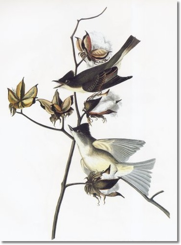 audubon-viii-gleaners-of-forest-and-meadow-eastern-phoebe-aka-pewit-flycatcher