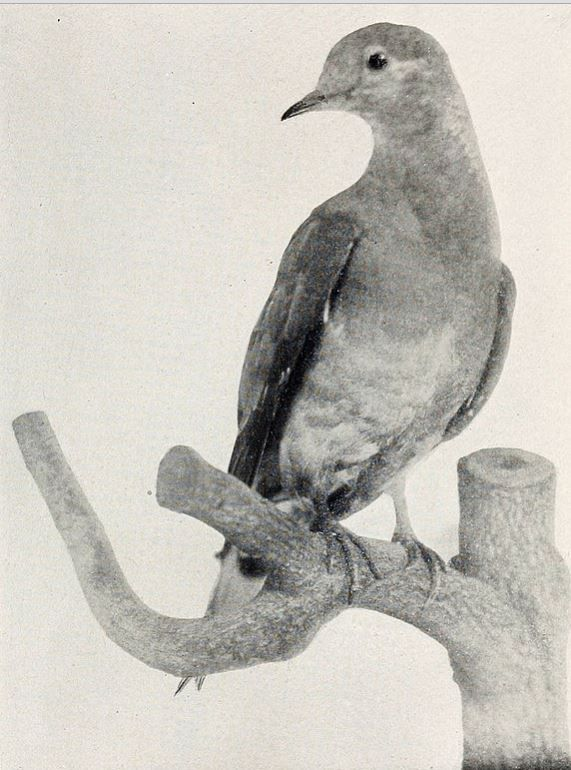 pigeon-3-Martha