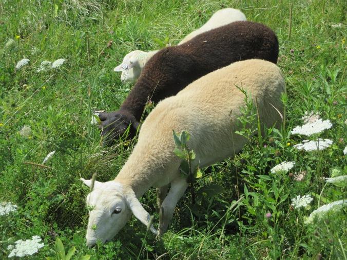 Lila, Tyra and Becky lambs.
