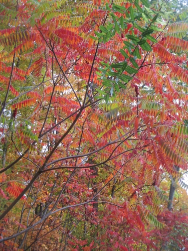 Sumac Tree