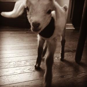 chloe goat