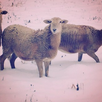 sheep 81