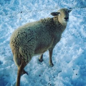 clara sheep